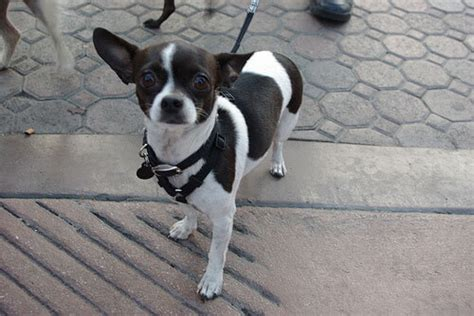 black and white chihuahua puppies chihuahua breed 187 information pictures more