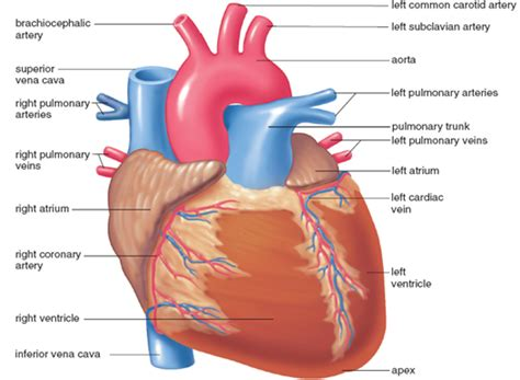 what color are arteries difference between artery and vein artery vs vein