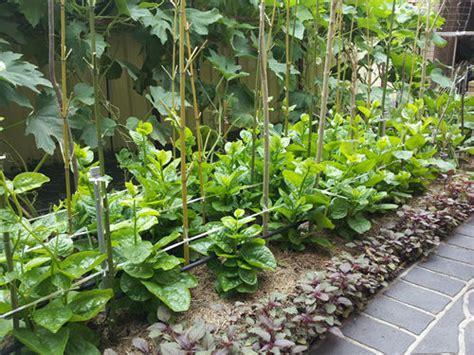 malabar spinach bulk  seeds puishak bachhali