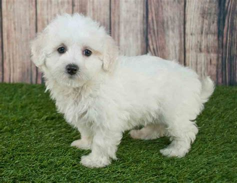 maltese x poodle lifespan teacup maltipoo teacup maltese poodle mix the ultimate