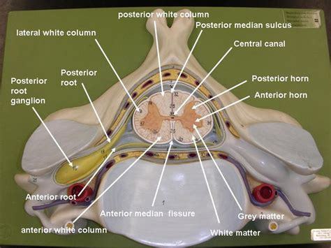 cross section of the spinal cord labeled nervous system models labeled brain and spinal cord