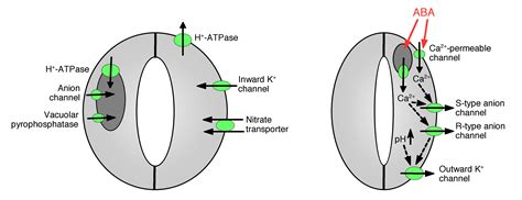 stomata diagram botany the source of aba for inducing stomatal closure