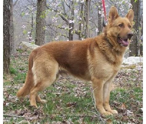 liver colored german shepherd 1000 images about next on puppys