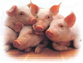 pigs images piggys wallpaper background photos 2941055