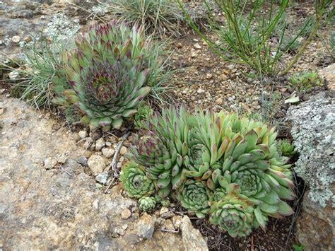 piante grasse per appartamento piante grasse da esterno piante grasse da appartamento
