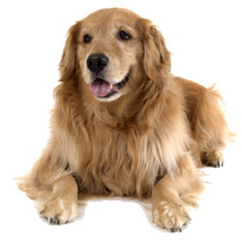 golden retriever png hondenplaneet nl informatie honden