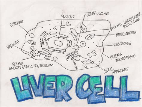liver cell diagram cell encyclopedia 2 3 1 draw and label er ribosome