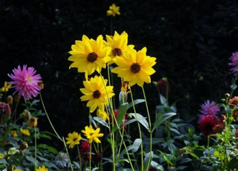 yellow and pink sunflowers flower heliantheae sunflower garden with yellow pink and