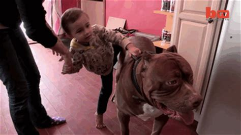 "World's Largest Pitbull ""Hulk"" Has 8 Puppies Worth Up To ... Huge Pitbull Attack"