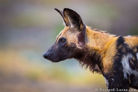 puppy profile profile burrard lucas photography