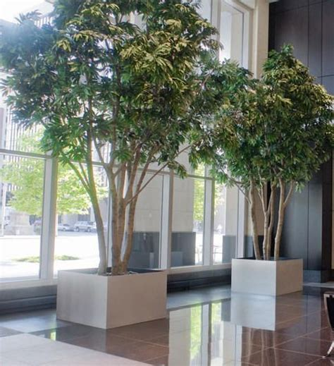 large ficus trees  large planters  planterdesigns