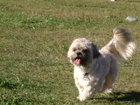 shih tzu temperament spunky shih poo temperament breeds picture
