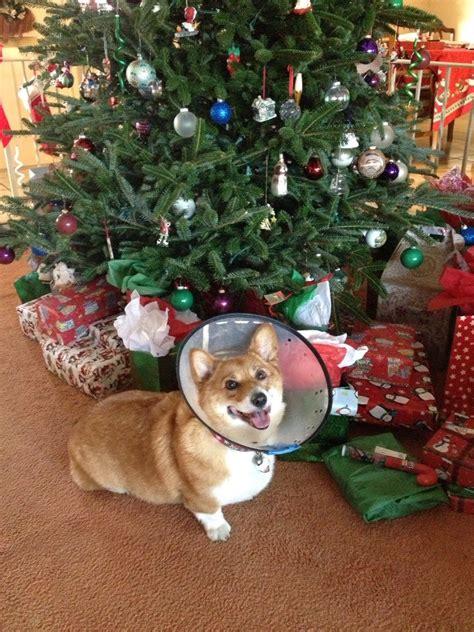 corgi christmas tree images