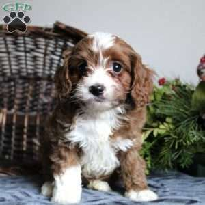 greenfield puppies cavapoo cavapoo puppies for sale cavapoo breed info greenfield puppies