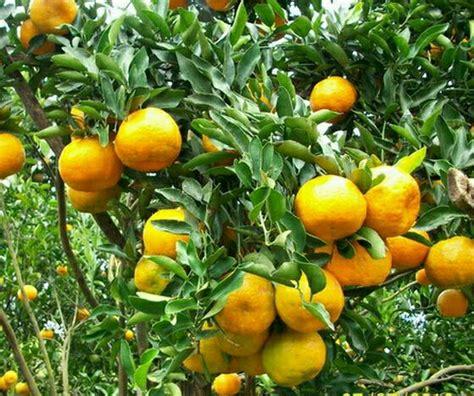 Paket Bibit Murah 10 Batang jual promo paket 5 batang bibit jeruk santang madu di lapak elysa green elysagreen