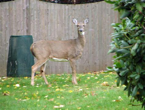 deer in backyard wildlife watching in backyard