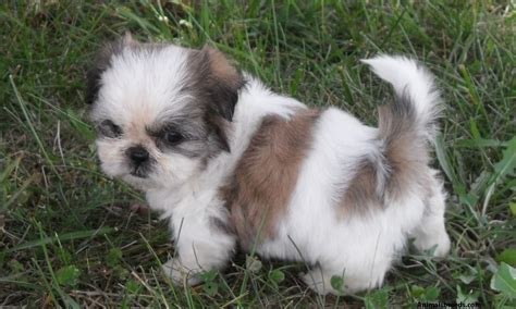 what is a shih tzu puppy shih tzu pictures puppies information temperament characteristics rescue