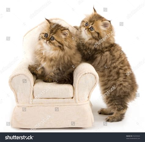 show me a picture of a baby golden retriever golden chinchilla kittens on stock photo 55255924