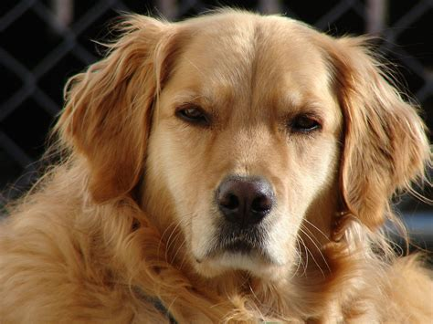 golden retriever forum uk nick diaz has adopted a for the time sherdog forums ufc mma boxing