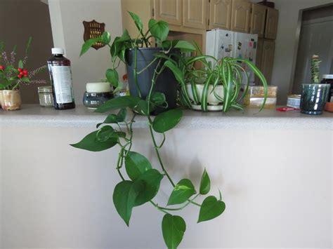 indoor plants for sale indoor plants for sale saanich victoria
