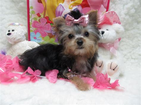 teacup yorkies for sale oklahoma yorkie poos for sale in oklahoma 2015 personal