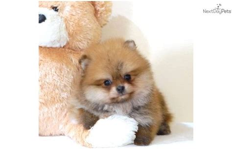 pomeranian puppies that look like pandas for sale 141 best images about teacup pomeranian puppies for sale on tea cups