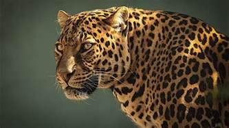 Jaguar Africa Animals Wildlife Jaguar Feline Leopards Animals
