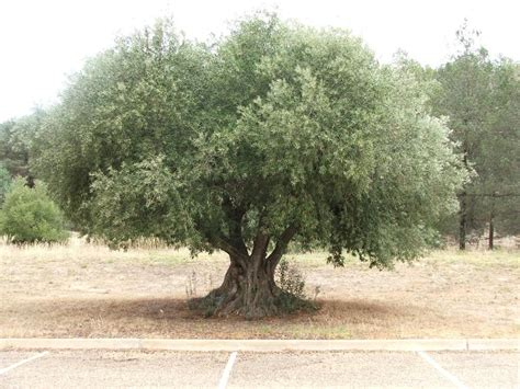 how much does olive trees cost prices of olive in the mediterranean rise due to climate change and a killer disease