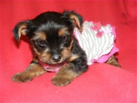 yorkie puppies for sale utah terrier puppies in utah