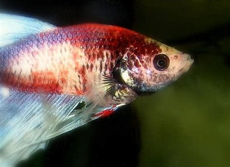 betta fish changing color marble betta fish color changing genes fish care