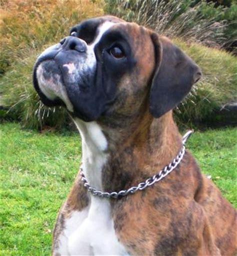 cadenas de perros largas perros b 243 xer perrosamigos