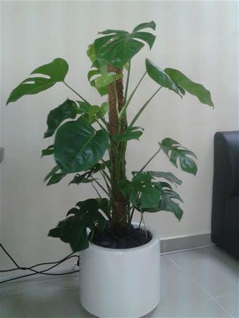 indoor potted plant for sale uae chitku ae