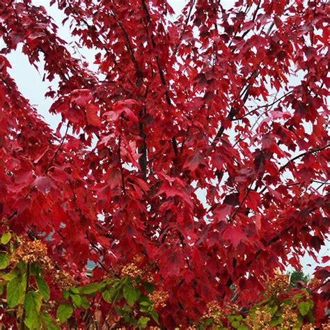 maple tree name in types of maple trees