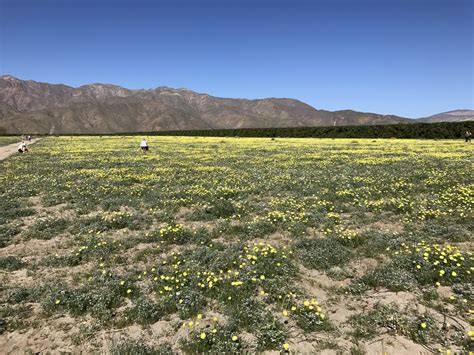 anza borrego wildflowers 2017 anza borrego state park wildflower road trip march 2017 all day i eat like a shark