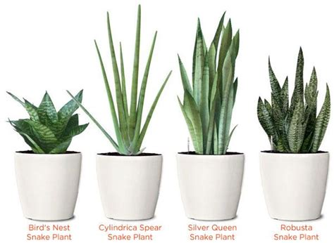 little plants 25 best ideas about snake plant on pinterest indoor