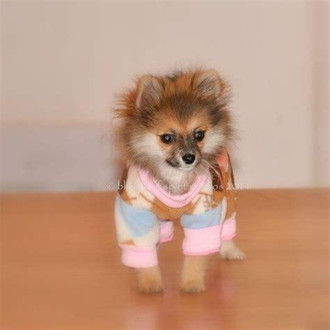 pomeranian pajamas pomeranian in pajamas animals puppies ph