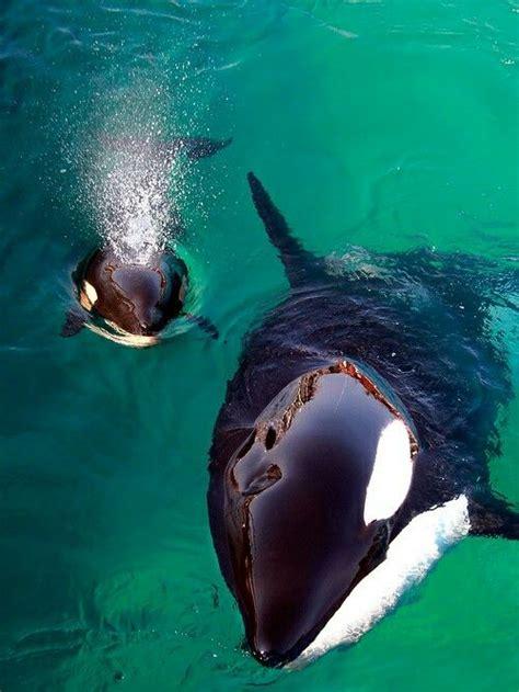 Maianan Animal Kingdom orca and calf orca animals