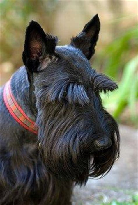 how to trimscottish terrier perfectly scottish terriers lovetoknow
