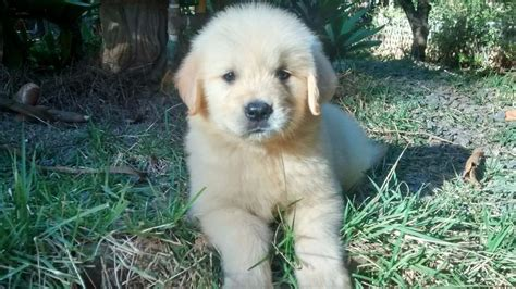 canil golden retriever filhotes golden retriever f 234 mea pedigree canil c de 30 anos r 1 800 00 em mercado