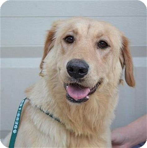 va golden retrievers summit adopted roanoke va golden retriever labrador retriever mix