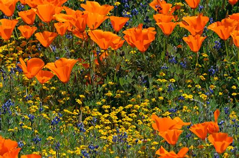 california desert flowers california desert and sierra wildflowers and migrating birds
