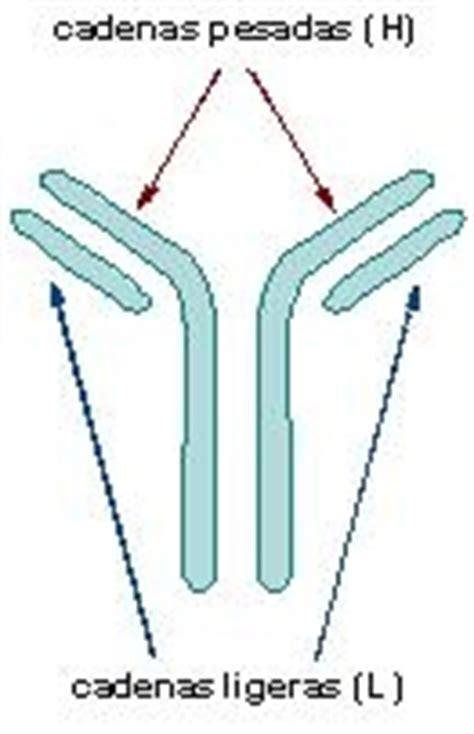 cadenas ligeras de inmunoglobulina en orina subunidades de inmunoglobulinas