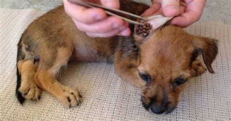 how to remove tick from how to remove ticks from your pet wide open pets