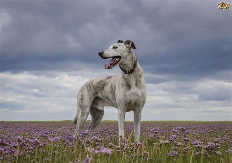 lurcher dogs lurcher breed information buying advice photos and facts pets4homes