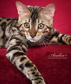 baby bengal kitten prices 25 best ideas about cats for sale on pinterest baby