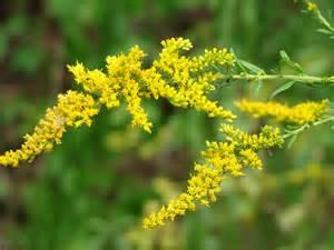 Utah State Bird And Flower - goldenrod state symbols usa