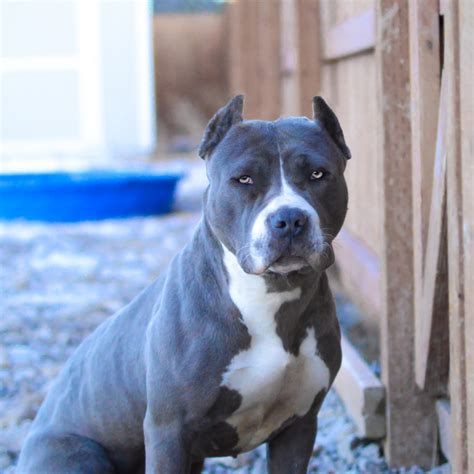buy pit blue nose pitbull puppies for sale blue pitbull