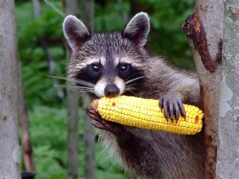 what to do if a raccoon is in your backyard what do raccoons eat chicago il patch