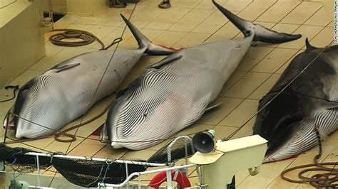 Whaling Is Still Big In Japan by Sea Shepherd To Suspend Pursuit Of Japanese Whalers Cnn