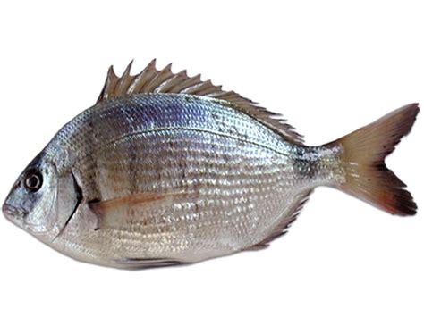 come cucinare un dentice sarago pesce variet 224 come cucinare e scegliere